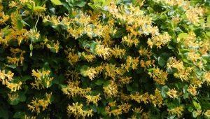 Жимолость каприфоль: описание, сорта, размножение и выращивание