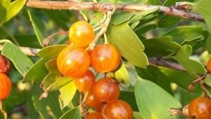 Золотистая смородина: описание, виды и выращивание