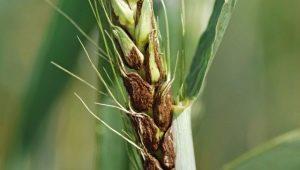 Болезни и вредители пшеницы