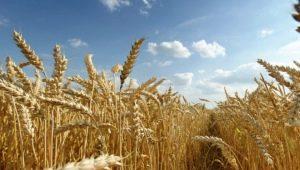 Чем отличается пшеница от ржи?