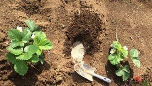 Чем подкормить садовую землянику?