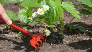 Чем подкормить викторию во время цветения?