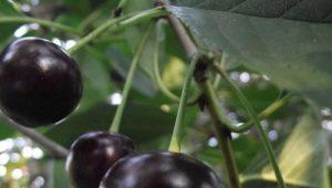 Черная вишня: популярные сорта и их характеристика