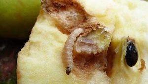 Червивые яблоки: причины и методы устранения проблемы