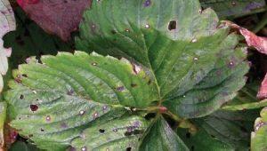 Что делать, если у клубники листья в дырочку?