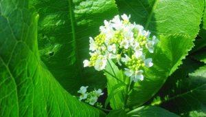 Цветы хрена: произрастание, сбор и применение