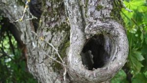 Дупло в яблоне: правильно лечим рану и пломбируем опасное отверстие