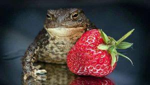 Едят ли лягушки клубнику и что в этом случае делать?