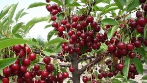 Как избавиться от поросли вишни на участке?