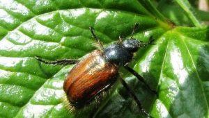 Как избавиться от жуков на клубнике?