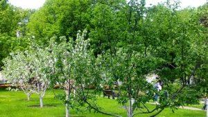 Как можно размножить яблоню?