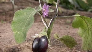 Как посадить рассаду баклажанов в открытый грунт или теплицу?