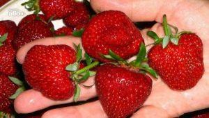 Как повысить урожайность клубники в открытом грунте?