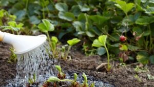 Как правильно поливать клубнику?
