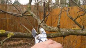 Как правильно проводить обрезку яблонь?