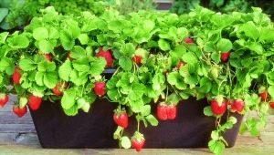 Как вырастить клубнику?