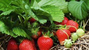 Какую почву любит клубника и как ее правильно подготовить?