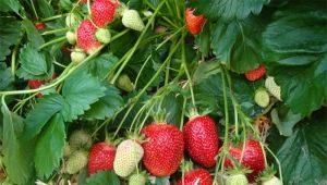 Клубника «Альба»: описание сорта и особенности выращивания