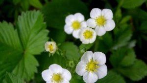 Клубника цветет, но не плодоносит: причины явления, меры по исправлению ситуации