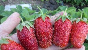 Клубника «Дивная»: описание сорта и советы по выращиванию