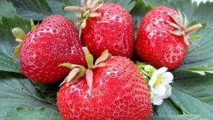 Клубника «Гигантелла Максим»: описание сорта и выращивание