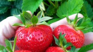 Клубника «Ирма»: характеристика сорта и выращивание