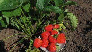 Клубника «Кимберли» («Вима Кимберли»): характеристика и выращивание