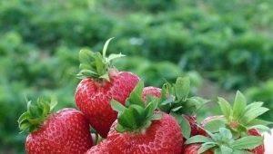 Клубника «Корона»: характеристика сорта и выращивание