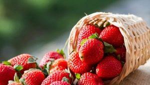 Клубника «Ламбада»: описание сорта и агротехника