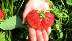 Клубника «Лорд»: характеристика и агротехника выращивания