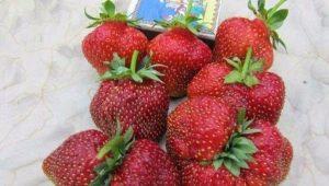 Клубника «Машенька»: характеристика и особенности выращивания