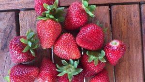 Клубника «Монтерей»: описание сорта и выращивание