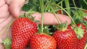 Клубника «Сельва»: описание сорта и особенности выращивания