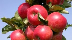 Колоновидная яблоня «Арбат»: характеристика сорта и особенности выращивания