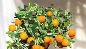 Мандариновое дерево: разновидности и тонкости выращивания