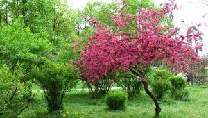 Описание яблонь с красными листьями, применение декоративных сортов в ландшафтном дизайне