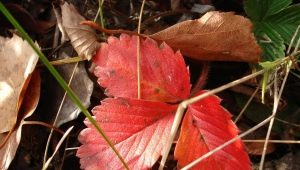 Почему краснеют листья у клубники и что с этим делать?