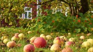Почему опадают недозревшие яблоки и что с этим делать?