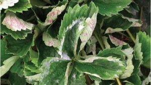 Почему у клубники скручиваются листья и что нужно делать?