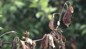 Почему у яблони чернеют и засыхают листья и что с этим делать?