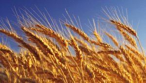 Пшеница: калорийность и состав, польза и вред