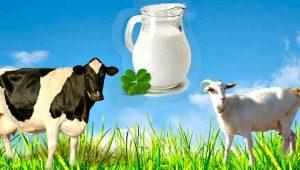 Сравнение козьего молока с коровьим: какое полезнее и чем отличаются по составу?