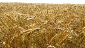 Тонкости процесса выращивание пшеницы