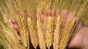 Твердые сорта пшеницы: описание, особенности выращивания и производства