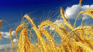 Виды и сорта пшеницы