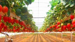 Выращивание клубники по технологии Фриго