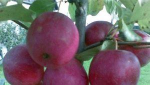 Яблоня «Китайка Керр»: описание сорта и правила выращивания