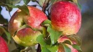 Яблоня «Мельба»: описание сорта, разновидности и выращивание
