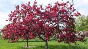 Яблоня «Недзвецкого»: особенности и выращивание