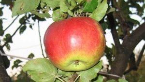 Яблоня сорта «Жигулевское»: описание, посадка и уход